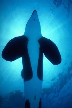 Keiko...was released back into the ocean and got to swim with wild orcas before his death