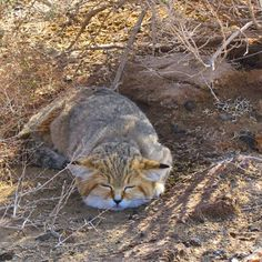 """""""Persian Sand Cat"""", Sefid-ab - Kavir National Park, Garmsar County, Semnan Province, Iran.   This cat is made to survive in areas that are too hot, too dry, and simply too inhospitable for most other creatures. The Sand Cat can survive in temperatures ranging between -5 degrees C (23 F) to 52 degrees C (126 F).(Persian: گربه شنی, پارک ملی کویر, شهرستان گرمسار, استان سمنان. گربه شنی  قادر است در مناطقي كه آب وجود ندارد زندگي كند.) Photo by Mehdi Lahardi (parkmelikavir)"""