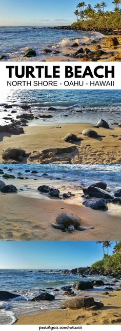 Where to see turtles in Oahu: Turtle Beach, North Shore Oahu, Laniakea Beach at sunset is best Oahu beaches for turtle sightings on Hawaii vacation! Add to bucket list of things to do on Oahu. Going to Laniakea Beach on the North Shore gives you things to do with nearby swimming, snorkeling, hikes, waterfalls. Worth Honolulu or Waikiki drive! USA travel destinations, world adventures on a budget! What to wear, what to pack for Hawaii packing list to prep. #oahu #hawaii