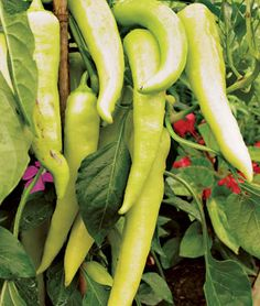 """Hybrid Pepper. If you like tasty banana peppers, you'll love this whopper, which produces much bigger peppers on much smaller plants. Each fruit is two"""" longer and an amazing 30% meatier than the peppers on Sweet Banana. The fruits are 8"""" long and more a truly giant pepper. They start yellow and mature orange-red, so you can pick them at any stage you like. Great for pickles, salads or grilling."""