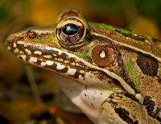 "In The Frog's Eye by Lorraine Hudgins, via 500px - ""In this photo, which I took while laying on my stomach on the grass a few inches away from this Leopard Frog, you can see in the reflection of the eye, the outline of my arm as I held the camera to take the photo.""  Without a dedicated photographer with a macro lens. we would never be able to see this frog in such amazing and beautiful detail.  The power of photography to lead us into the unseen world all around us is astonishing."