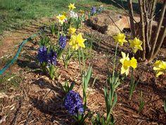 Mom's hyacinths