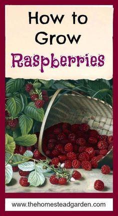 Garden Types How to Grow Raspberries – Gardening Fruit Garden, Edible Garden, Garden Plants, Garden Mesh, Apple Garden, Garden Farm, Potager Garden, Garden Compost, Garden Soil