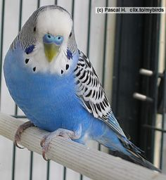 a normal colored blue male parakeet