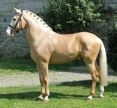 Lusitano for Sale: Stallion, Palomino, 5 years in Povoa de Varzim, Distrikt Porto, Portugal (Caballo-ID: HA021108) | Caballo Horsemarket
