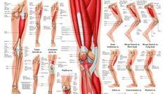 anatomy of the leg muscles Muscles, Anatomy, Legs, Health, Muscle, Bridge, Artistic Anatomy