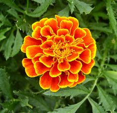 French Marigolds bright colour in fall vegetable garden, a great article on how to start them early and what they can do for you in the veg garden from growveg.com.