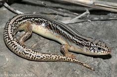 Eumeces obsoletus (Great Plains Skink)