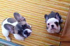 French bulldog squared