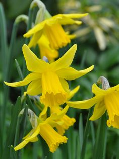 Narcissus 'February Gold' #edgewoodgarden
