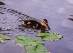 digital download photography duck photo baby by Turtlesandpeace