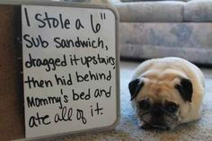 I like eating my subs in peace too, don't see the problem with this. | 23 Photos That Prove Pug Shaming Is The Best Kind Of Dog Shaming
