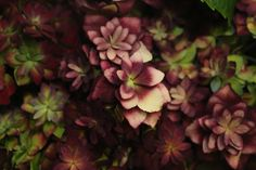 #Hydrangea #Hortensia #Expression Classic: Available at www.barendsen.nl