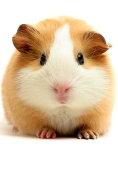 Guinea Pig are so cute