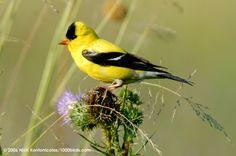 American Goldfinch Carduelis tristis - Nikkor VR 80 ...
