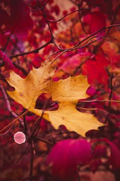 #leaf #love #orange #pink #autumn #colours #photography #petfruska