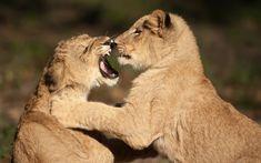 Un par de cachorros de león juegan en el zoo de Jacksonville, Florida, EEUU (Graham McGeorge, 2015)