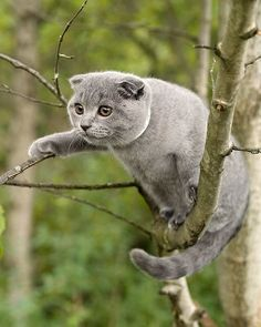 Funny cat picture, cat on the tree, scottish fold cat pics, scottish fold cat photos Funny Cats, Funny Animals, Cute Animals, I Love Cats, Cool Cats, Cat Scottish Fold, Curious Cat, Here Kitty Kitty, Kitty Cats