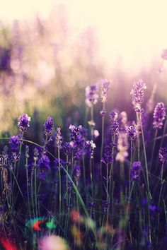 Beautiful Lavender Flowers in the sunrise  |nature| |amazingnature|  #nature #amazingnature  https://biopop.com/