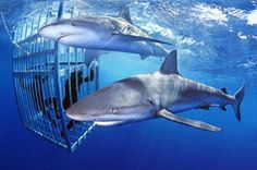Shark Cage Dive   North Shore  Haleiwa, Hawaii