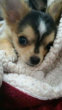 Effective Potty Training Chihuahua Consistency Is Key Ideas. Brilliant Potty Training Chihuahua Consistency Is Key Ideas. Chihuahua Love, Chihuahua Puppies, Cute Puppies, Cute Dogs, Dogs And Puppies, Teacup Chihuahua, Chihuahua Clothes, Long Haired Chihuahua, Beautiful Dogs