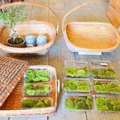 古い生活の道具、山苔の苔パックが追加で届きました。 . 苔は、盆栽の貼り替えや、苔庭などアレンジ用として。 . 楕円の手付きかごは、竹脚で底上げになっているのため通気性が良く、野菜の保存、食器や衣類など収納にもおすすめです。 . #苔 #ホソバオキナゴケ #販売 #竹かご #古道具 #廻antique #香丁木 #盆栽 #mossggreenikkei #Kitowa #樹と環 #名古屋 #千種