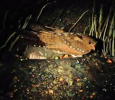 The Oilbird (Steatornis caripensis)