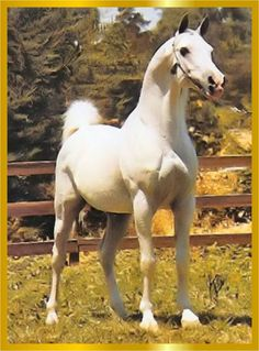 *Salon.  Foaled 1959, bred by Tersk Stud, USSR. Race record 2/19(1-5-3). Sired 64 purebred foals in USSR. Rated Elite. Exported 1971 to West Germany, sired 24 purebred foals; rated Class 1. Exported in 1980 to the US, sired 119 purebred foals; rated Foundation Sire. Sire of Muscat, Namiet, Moment, Podsnejnik, Plastika, Pesenka, Ponomarev and Muslin, to name a few.  Aragon carries 2 lines to him through Muscat.