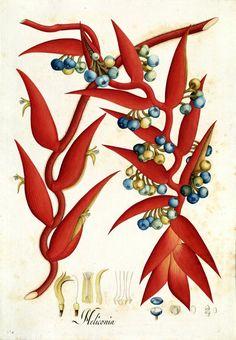 Heliconia. Proyecto de digitalización de los dibujos de la Real Expedición Botánica del Nuevo Reino de Granada (1783-1816), dirigida por José Celestino Mutis: www.rjb.csic.es/icones/mutis. Real Jardín Botánico-CSIC.