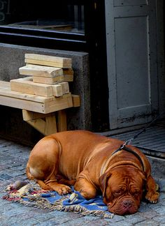 Dogue de Bordeaux Puppy Dogs French Mastiff , want one.