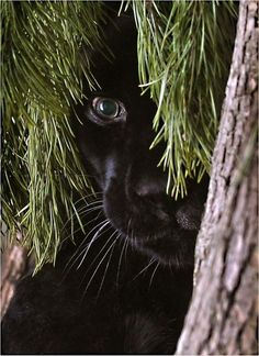 Big Cats: Black Panther.