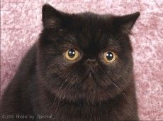 Black Exotic Shorthair Cat