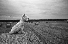 West Highland White Terrier by Pijus Vyčas, via Flickr  Don't know if he's overseeing the work or surveying his kingdom!   Black and White