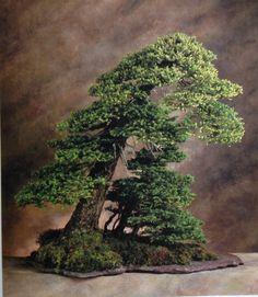 Yewpine, 350 years, 80 cm