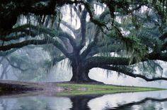 serene old tree