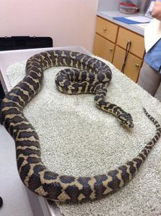 """""""Dice"""" the Jungle Carpet Python came to see us for a complete physical before he was adopted out by the Upper Valley Reptile Group to a new home. #riverroadvet #junglecarpetpython"""