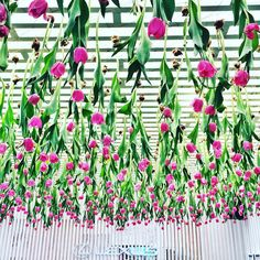 """""""Thousands of pink tulips hanging from the ceiling at @lexusaustralia marquee at Melbourne Cup today by the amazing @joostbakker ."""""""