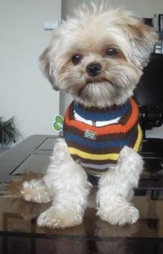 Adorable Shorkie! Looking for female to breed with my male.