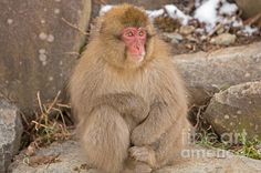 A young snow monkey or Japanese macaque sits on the rocks along the mountains to Jigokudani Monkey Park.