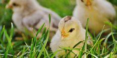 CKM PERÚ   Cuál es el efecto del mycoplasma en las aves de corral