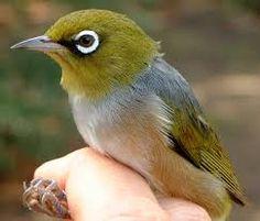 Image result for native tasmanian birds