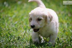 Meet Juliet a cute Goldendoodle puppy.
