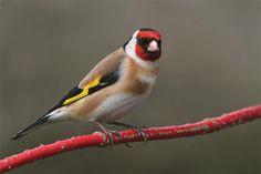 european goldfinch | Черноголовый (обыкновенный) щегол