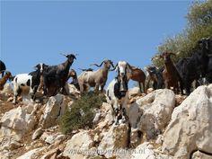 Goats a lot