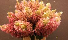 #Hydrangea #Hortensia #PinkyWinkyClassic;  Available at www.barendsen.nl