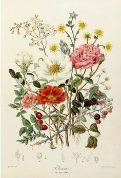 Elizabeth Twining  Illustrations of the Natural Orders of Plants  1849-55