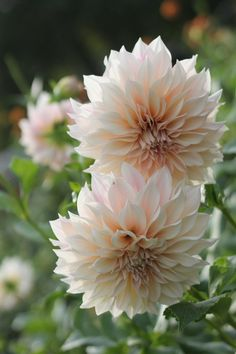 The most popular large dahlia of them all! These beauties have large blush flowers, some of them with hints of pinks or peach. Some will start out ...
