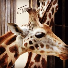 Young giraffe at Chester Zoo