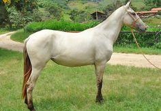 Campolina. A gaited breed from Brazil, the modern form is the tallest sport horse of South America, due to extensive crossbreeding outside of Iberian stock. It performs well in dressage and is an excellent pleasure horse. It comes in most colors but gray, - which looks almost white at maturity - pinto, and dun are popular.