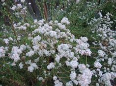 California buckwheat attracts native bees, honeybees, butterflies and unusual bugs, including beneficial predatory insects. The bountiful seeds of California buckwheat are relished by birds.